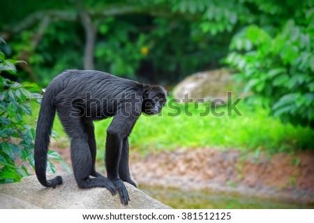 Wild Spider Monkey - stock photo