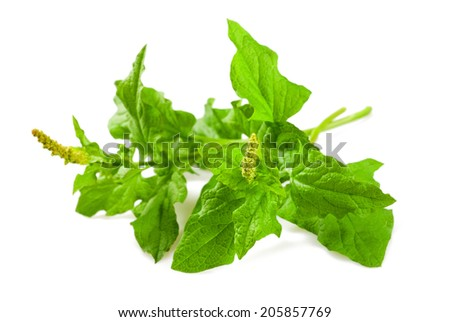 Wild spinach isolated on white