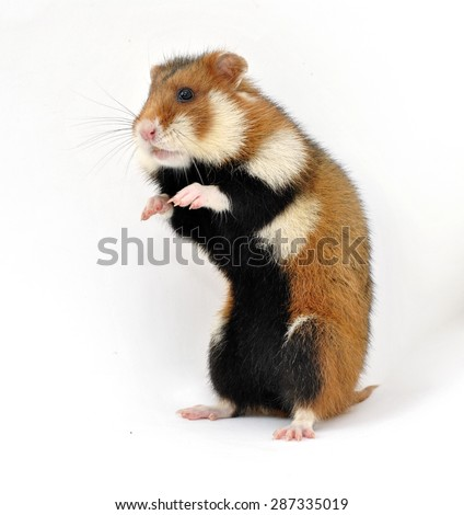 Wild spotted an aggressive hamster standing on hind legs and isolated on white background - stock photo