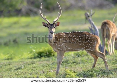 Wild Spotted deer in Yala National park, Sri Lanka - stock photo