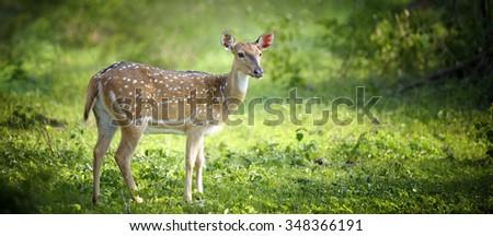 Wild Spotted deer in Yala National park, Sri Lanka - stock photo
