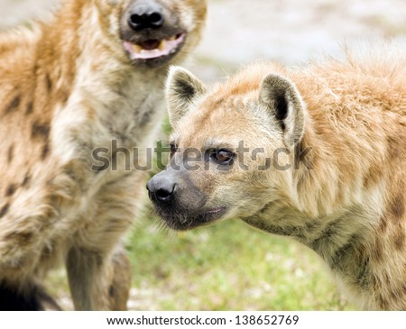 Wild Spotted Hyenas on the Hunt - stock photo