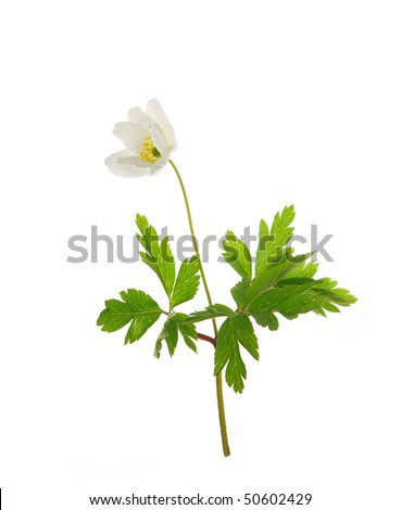 Wild spring Anemone, isolated on white background - stock photo