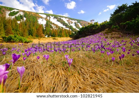 Wild spring crocuses growing at mountain valley landscape over blue sky - stock photo