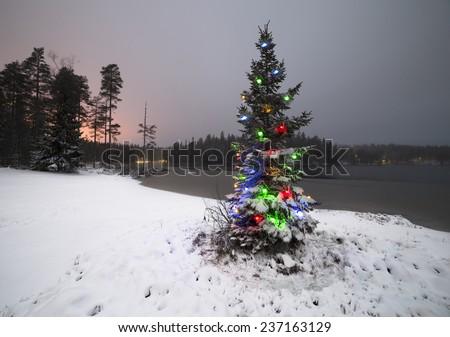 Wild spruce - stock photo