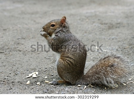 Wild squirrel in natural nature background, eating squirrel - stock photo