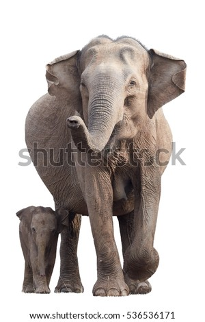 Wild Sri Lankan elephant, Elephas maximus maximus, mother with raised trunk, protecting new-born elephant, isolated on white background. Action wildlife scene. Yala National park, Sri Lanka.