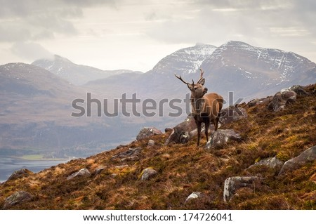 Wild stag overlooking Loch Torridon and the dramatic Wester Ross mountain range, Scotland - stock photo