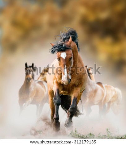 Wild stallion and herd running wild in autumn