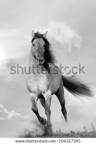 wild stallion running in sunset - stock photo