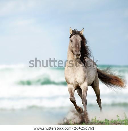 wild stallion running near water  - stock photo