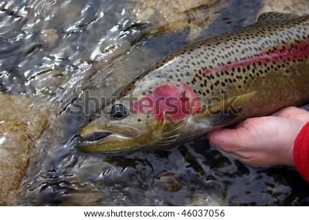 Wild Steelhead trout - stock photo