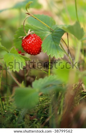 Wild strawberry - stock photo
