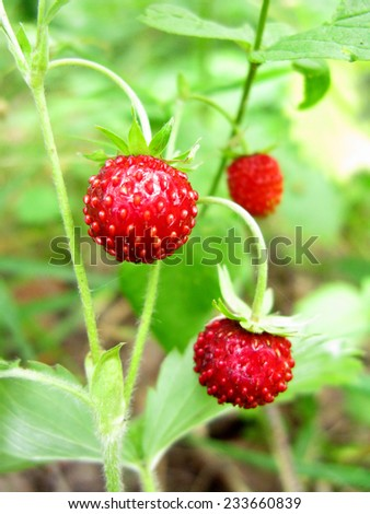 wild strawberry berries fruit dessert summer forest food - stock photo