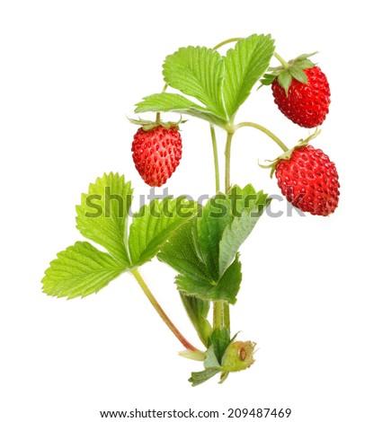 Wild strawberry isolated on white background. - stock photo