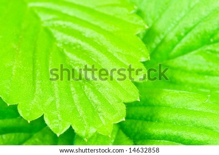 Wild strawberry leaves