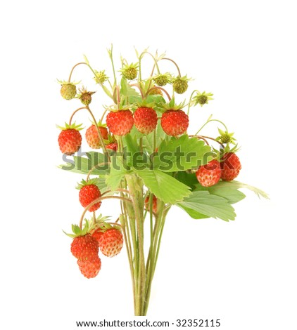 Wild strawberry plant isolated on white