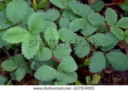 Wild strawberry tree leaves. Close up.