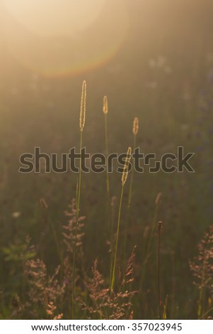 wild summer meadow with grasses backlit with  golden sunlight - stock photo