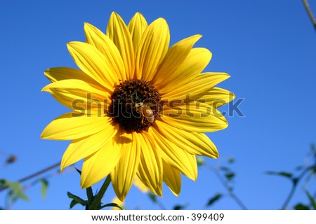 Wild Sun Flower And Bee