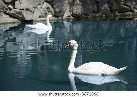 Wild swans floating in mountain lake - stock photo