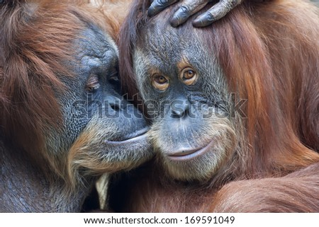 Wild tenderness among orangutan. Mother's kissing her adult daughter. - stock photo