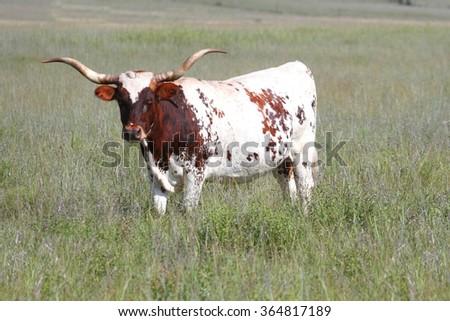 Wild Texas Longhorn Bull in an Oklahoma Wildlife Preserve - stock photo