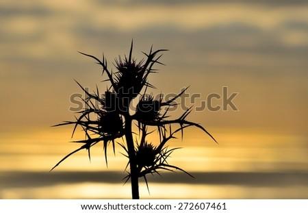 Wild thistle at sunrise - stock photo