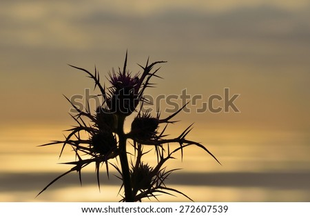 Wild thistle in bloom on colored skyline at dawn - stock photo