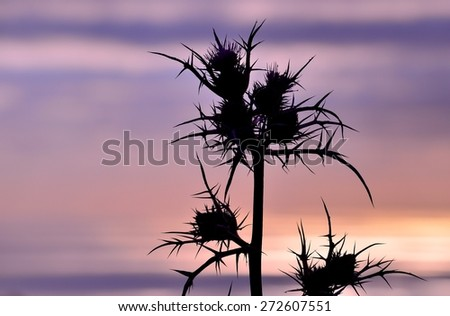 Wild thistle in bloom on skyline at dawn, image with color effect - stock photo