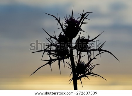 Wild thistle in full bloom at sunrise - stock photo