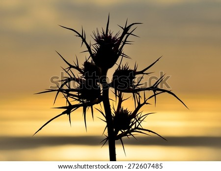 Wild thistle in full bloom on colored skyline at dawn - stock photo