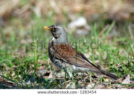 Wild  thrush - stock photo