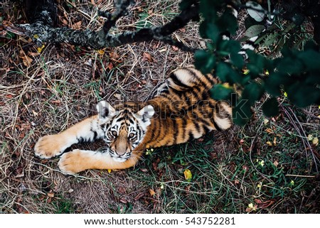 Wild Tiger cub playing  in the morning