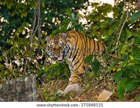 Wild tiger in the jungle. India. Bandhavgarh National Park. Madhya Pradesh. An excellent illustration.