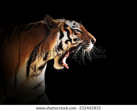 Wild tiger roaring. Isolated on black background, dark vignette - stock photo