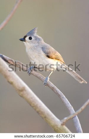 Wild Tufted Titmouse Perched in Tree. Bird is Staring Right Into the Camera Lense. - stock photo