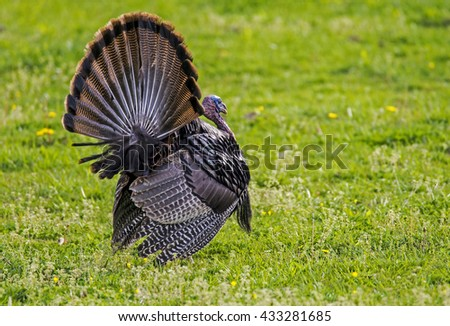 Wild Turkey displaying his feathers in green grass.