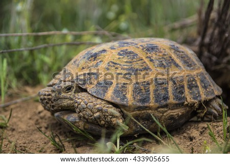 wild turtle in steppe in Kazakhstan, in the spring