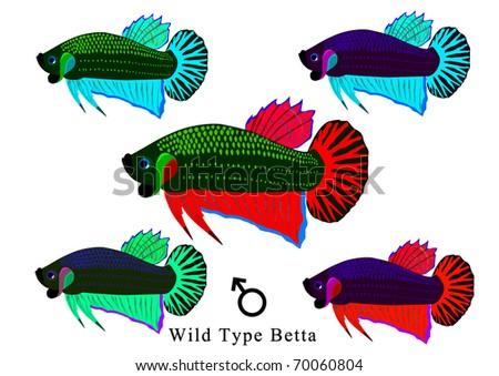 wild type betta - stock photo