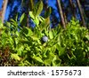 wild, unripe bilberry plant on the forest (background) - stock photo