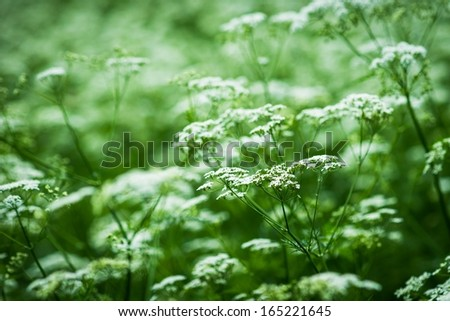 Wild Vegetation. Closeup view of a summer meadow, overgrown with hemlock weed. - stock photo