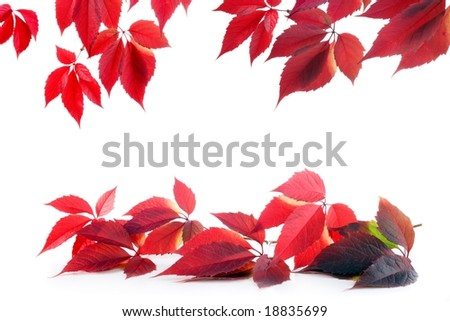 wild vines autumn leaves background on white