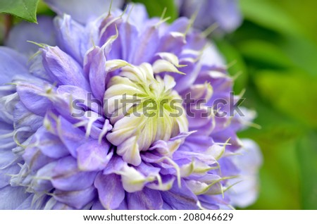 Wild violet color clematis flower isolated, close up. - stock photo