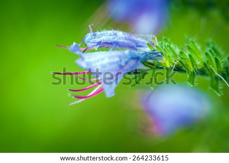 Wild violet flower on green meadow - stock photo