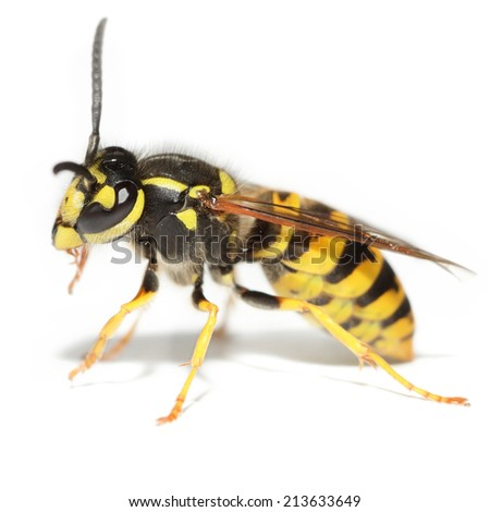 Wild wasp isolated over white background. Square format - stock photo