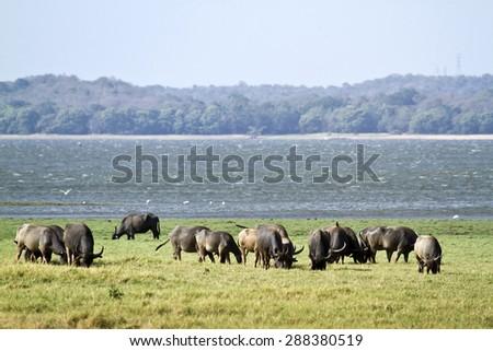 Wild water buffalo in Minneriya national park, Sri Lanka ; specie Bubalus arnee - stock photo