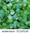 Wild water cress - stock photo