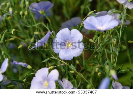 Wild Western Blue Flax flowers or Linum lewisii - stock photo