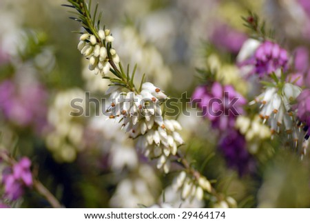 Wild white and pink heather, outdoors macro - stock photo